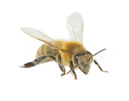 Der Bienenstaat - Arbeiterin