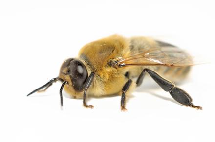 Der Bienenstaat - Drohne