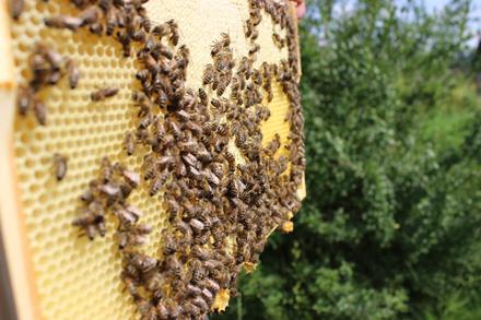 Bienenleben - der Bienenstaat