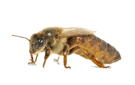 Bienenleben - Der Bienenstaat - Königin