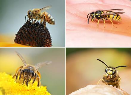 Daran erkennt man eine Honigbiene