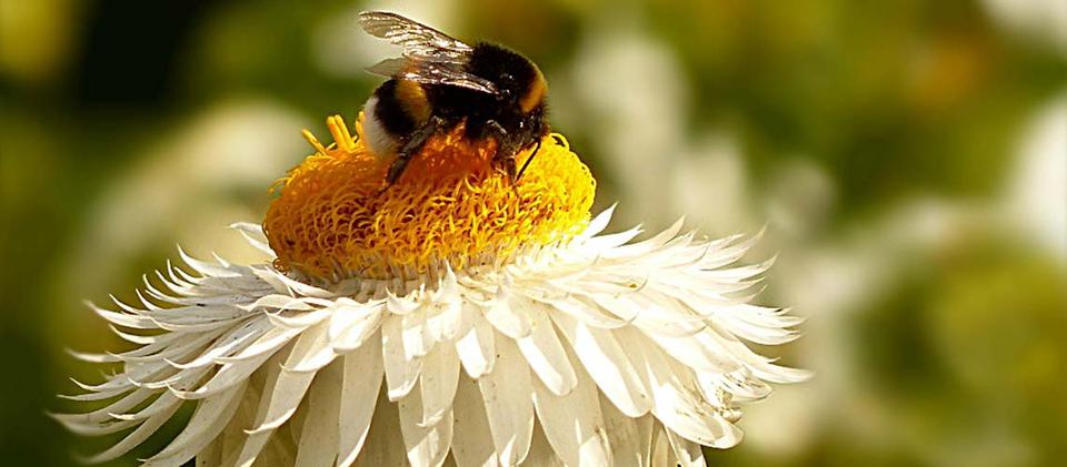 Best uberinsekten ihre bedeutung f r den menschen bee for Fliegen in blumen
