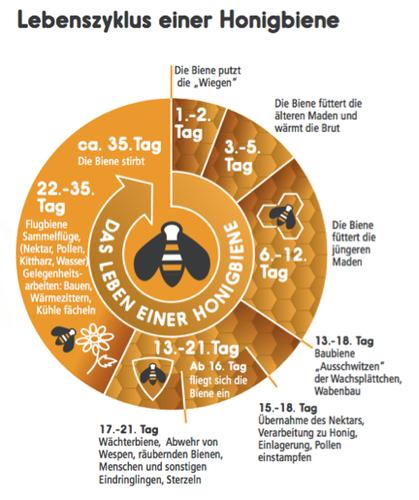 Lebenszyklus der Honigbiene