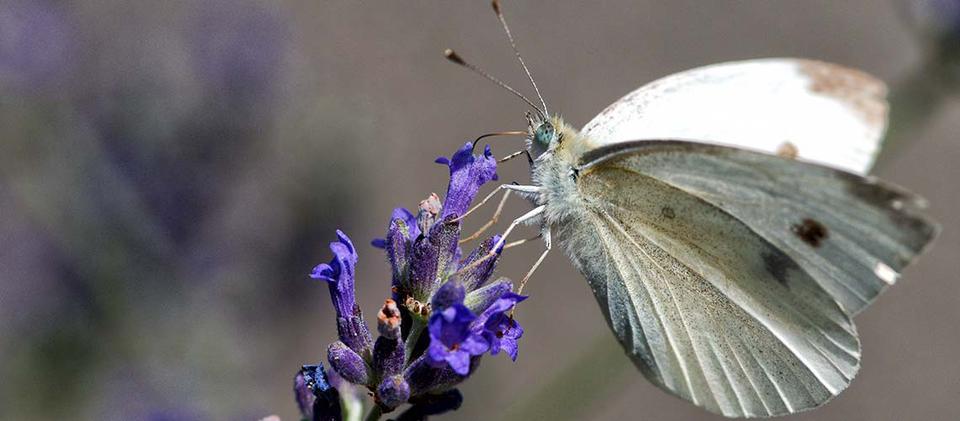 weisser nektar für ihren after