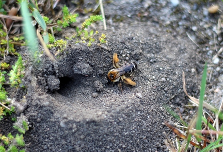 bienen im boden ganz genau diese bienenarten leben in der erde bee careful. Black Bedroom Furniture Sets. Home Design Ideas