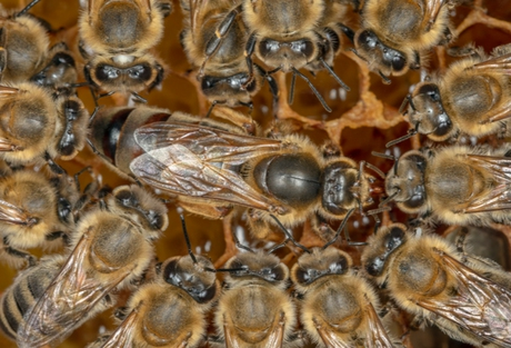 bee-careful-Bienenkoenigin-Ingo_Arndt