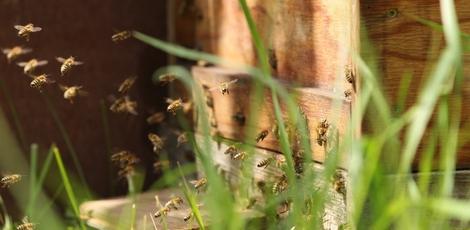 wie lange leben bienen lebenszyklus der honigbiene bee. Black Bedroom Furniture Sets. Home Design Ideas