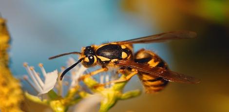 Sterben Bienen Nach Dem Stich