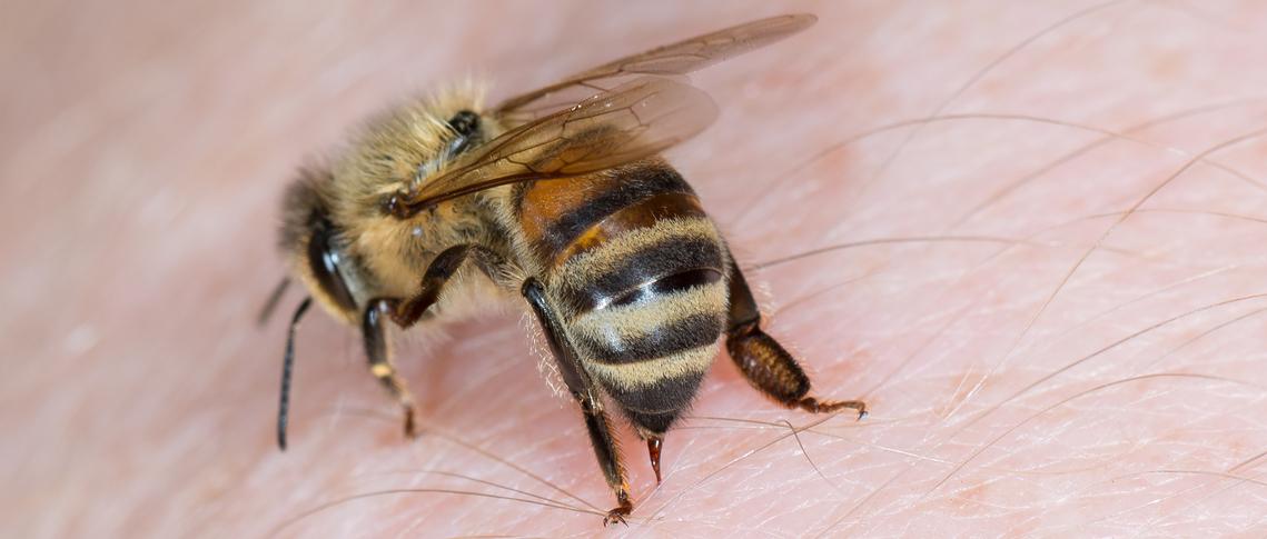 Biene Stirbt Nach Stich