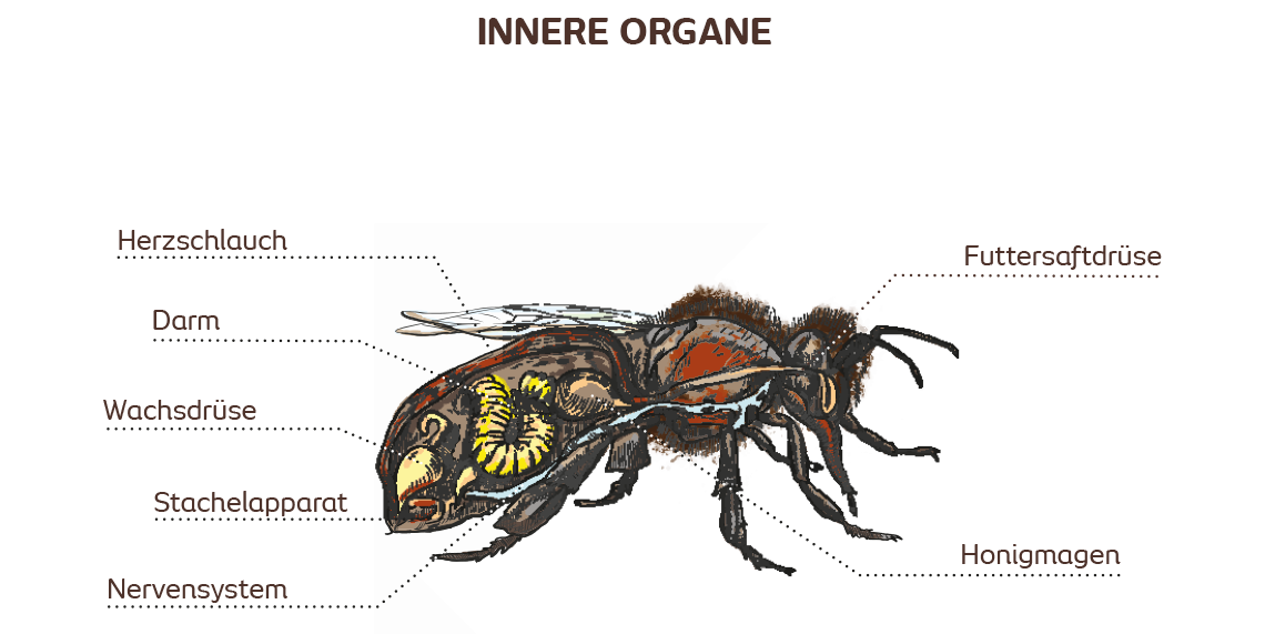 Die Anatomie der Honigbiene | Bee Careful