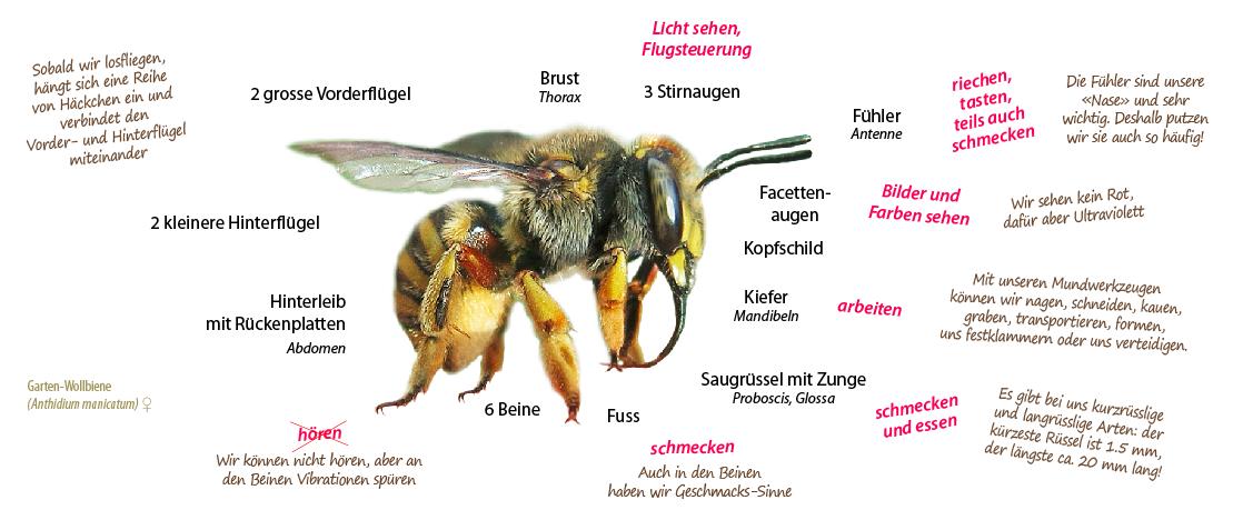 Die Bestäubung durch die Bienen