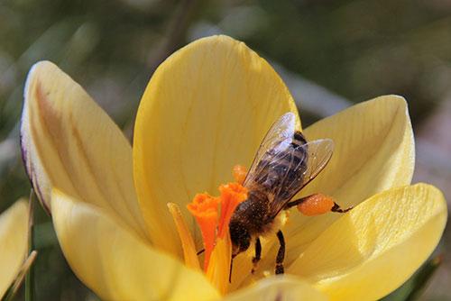 bienenfreundliche pflanzen darauf sollte man achten bee careful. Black Bedroom Furniture Sets. Home Design Ideas