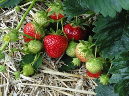 Bienen Machen Bei Erdbeeren Den Unterschied Bee Careful